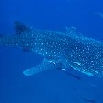 Diving Khao Lak - Whale Shark at Richelieu Rock